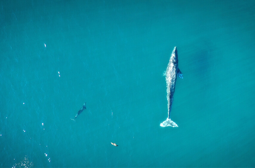 weDo World Oceans Day Image of endangered whale swimming in the peaceful ocean
